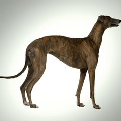 Dudley has part legs of Greyhound.