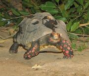 Red Footed Tortoise 2