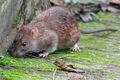 Brown rat-1-.jpg