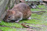 Brown rat-1-