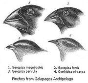 Darwin's finches-1-