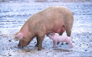 Sow with piglet-1-