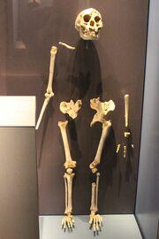 Homofloresiensisbones