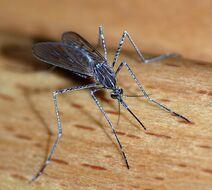 Mosquitobug