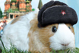 Russian-Guinea-Pig