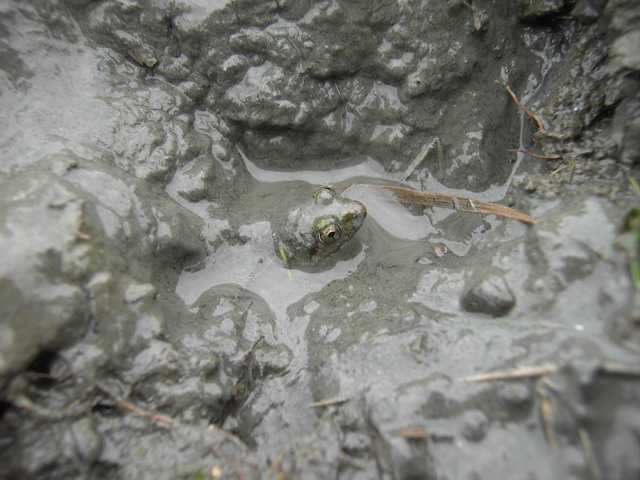 檔案:青蛙1.jpg