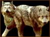 Twilight wolfpack 100x75