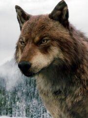 Jacob wolf twilight breaking dawn