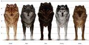 Wolf sizes