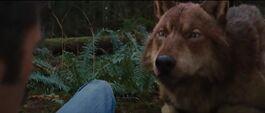 Jacob-wolf-bd2