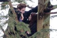 Edward z Bellą na drzewie