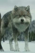 Brady en loup