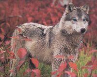 Rain in wolf form by Brambleclaw4evr