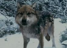Seth als Wolf