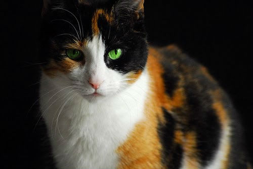 Image result for pretty tortoiseshell cat