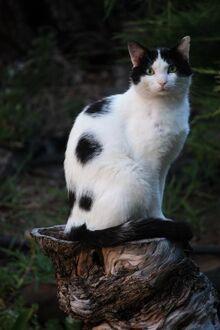 Black-and-white-cat-on-tree-stump-carol-groenen