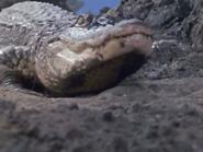 Huge Crocodile2