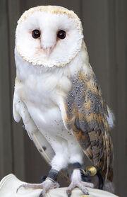 Barn Owl - Avenefica