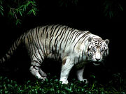 Eyes of tiger