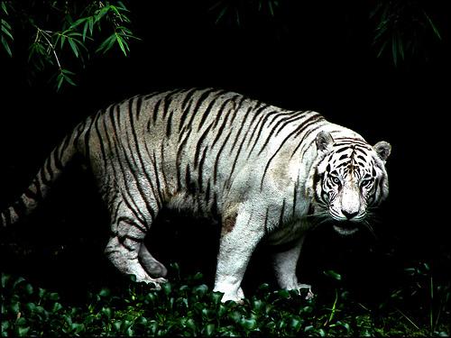 File:Eyes of tiger.jpg