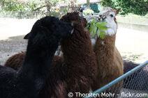 Alpaka-in-freilandhaltung