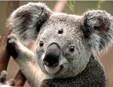 3 Eyed Koala