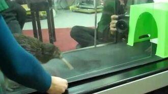 Kiwi rocking the treadmill-0