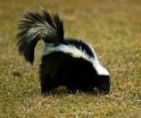 Skunky