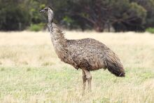 1200px-Emu-wild