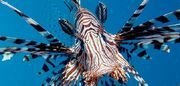 Lionfish-invasion-631.jpg 800x600 q85 crop