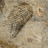 Fossilized Insect Shape of Shoe
