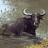 Water Buffalo (discovery)