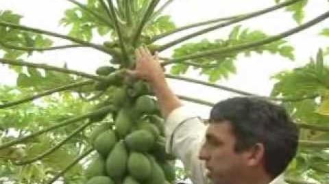 18 Programa Agronegócios - Manejo da Cultura de Mamão - 06 06 2010 - 1 Parte.flv