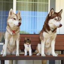 Rosie-cat-grows-up-husky-mother-lilo-34