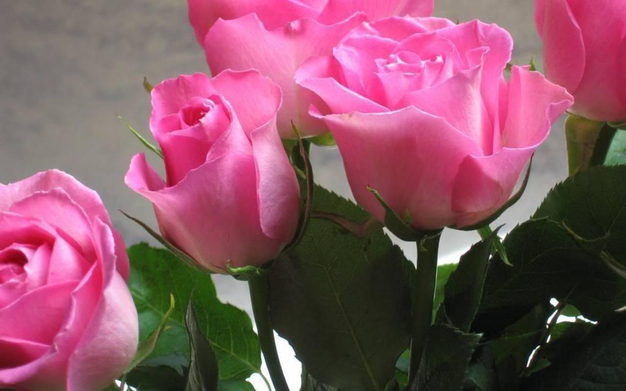 Imagen Rosas Jpg Steven Universe Wiki Fandom Powered By Wikia