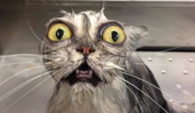 Image result for images of frazzled cat