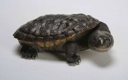 Black turtle which make you laugh wallpaper