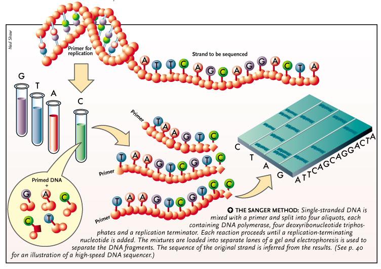 DNAseq: Sanger dideoxy | UVM Genetics & Genomics Wiki ...  DNAseq: Sanger ...