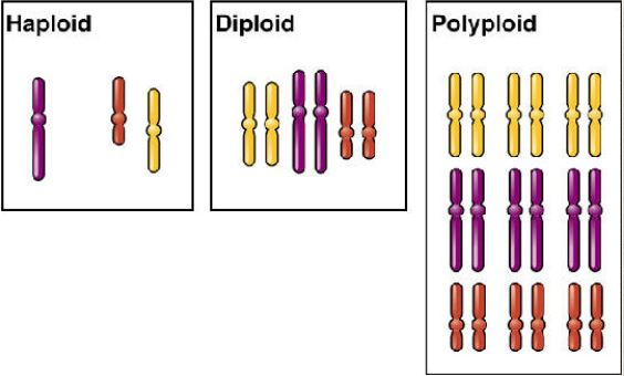 Representation Of A Polyploid In Comparison To Diploid And Haploid The Is Hexaploid