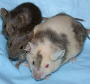 638px-ChimericMouseWithPups