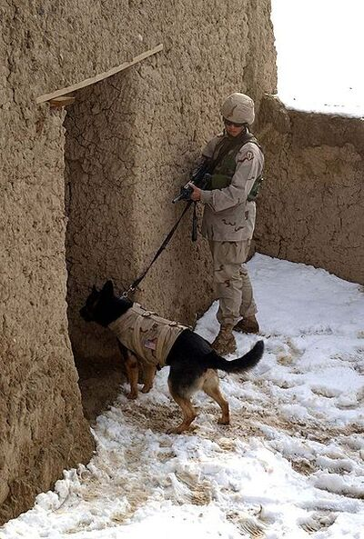 404px-Working dog in Afghanistan, wearing a bulletproof vest, clears a building
