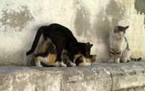 Mating-cats