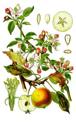 Cleaned-Illustration Malus domestica