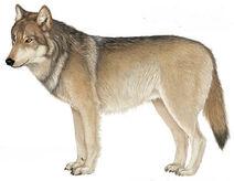 Wolf-illu