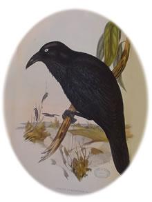 Australian raven (Gould)