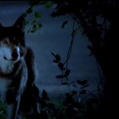 The wolf protecting Hayley