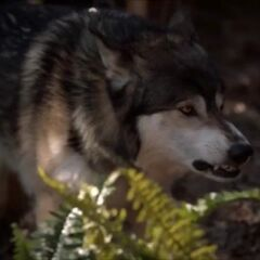 Jackson in wolf form growling at Elijah