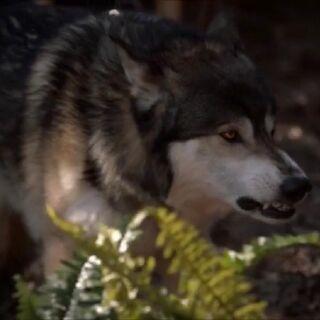Crescent Wolf.