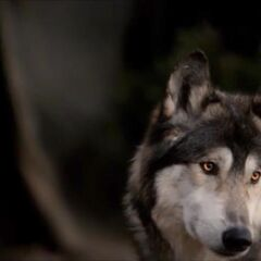Jackson in wolf form