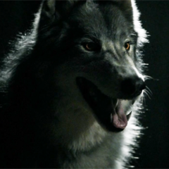 Mason in werewolf/wolf form